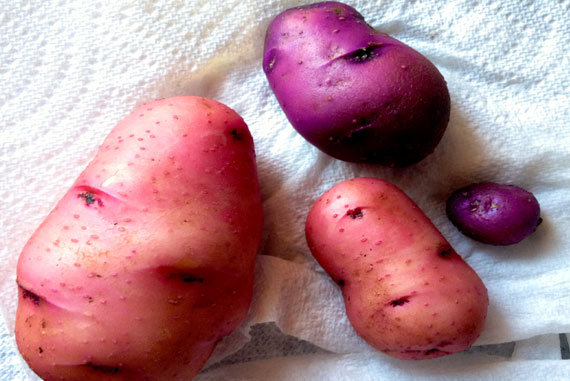PotatoProjectHarvest2