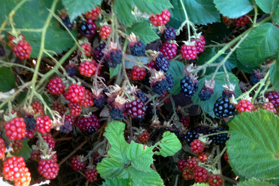 WillowbrookBlackberries