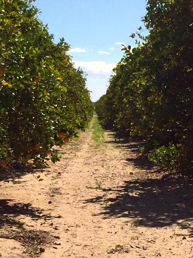 Sea View Ranch Orange Groves